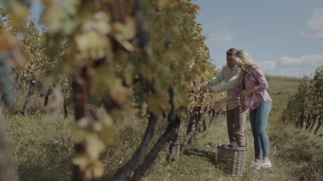 vídeos de stock e filmes b-roll de young couple harvesting fresh grapes - picking fruit