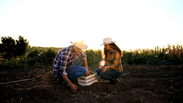 young couple harvesting potato - patate video stock e b–roll