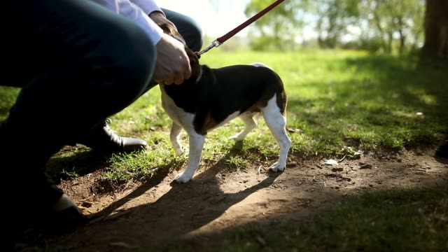 Young couple in a walk with Jack russell terrier. Enjoying weekend activities in public park Young couple in a walk with Jack russell terrier. Enjoying weekend activities in public park leash stock videos & royalty-free footage