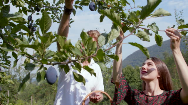 Young couple with straw basket reaching plums on the tree Young couple with straw basket reaching plums on the plum tree in the orchard on organic farm plum stock videos & royalty-free footage