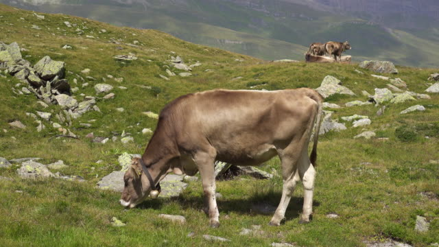 Young Cow Grazing on a Swiss Alp Mountain Meadow video