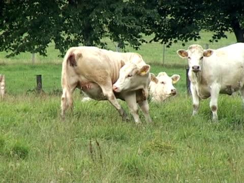 ntsc: giovane bovini - arto inferiore animale video stock e b–roll