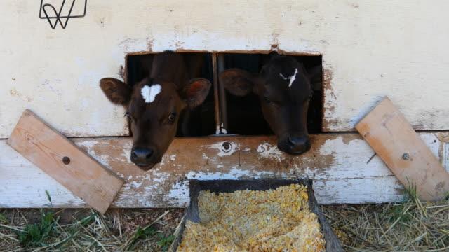 vidéos et rushes de jeune laitière veau en attente d'être hand fed - veau