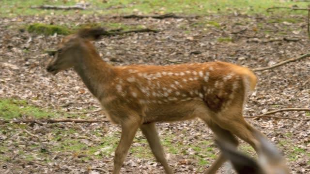 genç geyik yürüyüş - benekli geyik stok videoları ve detay görüntü çekimi