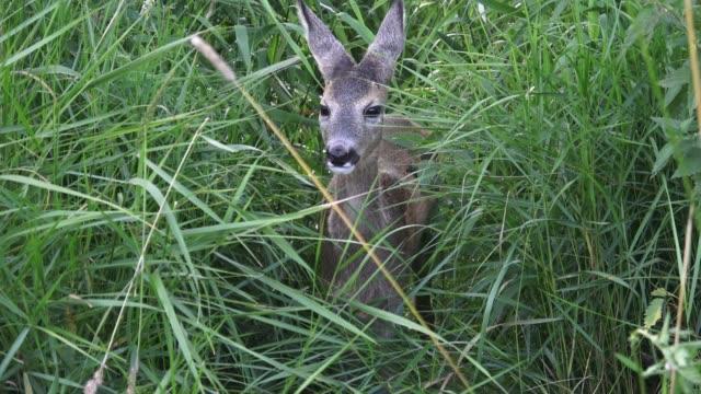 young doe in a grass field. roe deer, capreolus capreolus. wildlife scene from nature. - jelonek filmów i materiałów b-roll