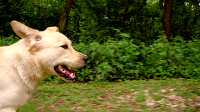 SLO MO Young dog running along the forest video