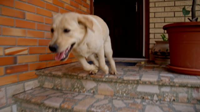 slo mo молодая собака бежит вниз the veranda - побег стоковые видео и кадры b-roll