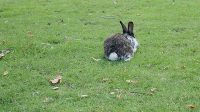 Young domestic animal fluffy bunny in the grass eating and relaxing 4K 2160p 30fps UltraHD footage - Hare in the natural environment eating grass 4K 3840X2160 UHD video