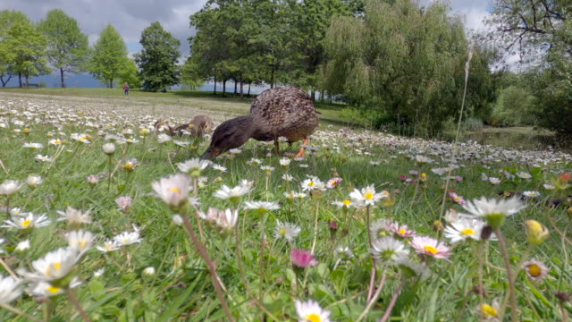 Young Ducklings in Park Daisies 4K UHD video