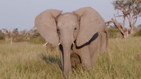 vidéos et rushes de jeune éléphant faisant une charge simulée dans les prairies du delta de l'okavango - format hd