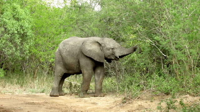 Young Elephant Eating Tree in Kruger Wildlife Reserve video