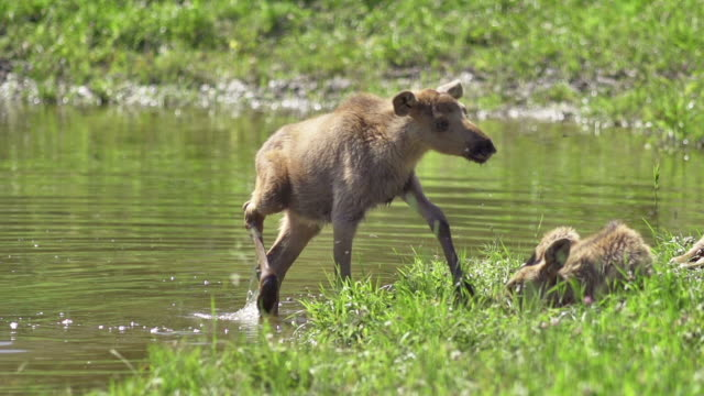 SLOW MOTION: Young Elk video