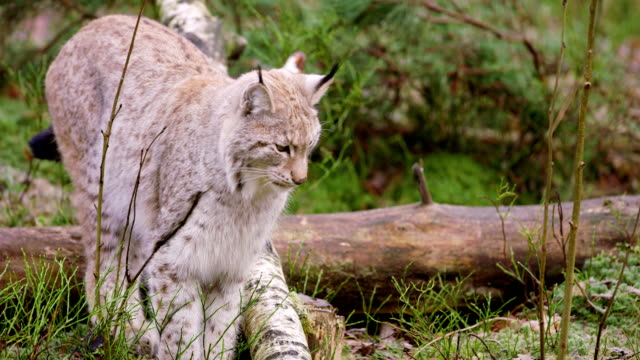 Young european lynx cub walks in the forest video