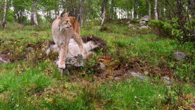 Young european lynx walking in the forest a summer evening