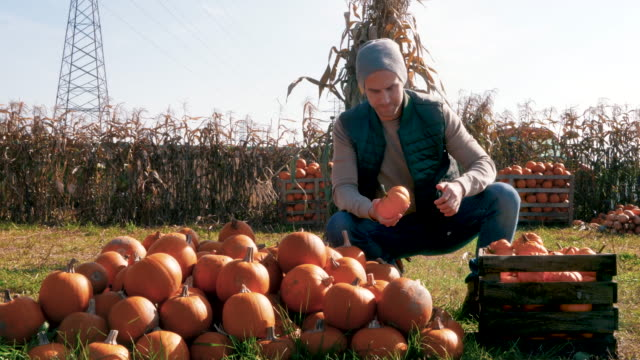 Young farmer examining pumpkins on the field