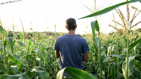 Young farmer going on the field with empty wooden box for harvesting corn crop. Steadicam shot of young farmer going on the field with empty wooden box for harvesting organic corn crop. Real working process of picking harvest on the organic eco farm, slow motion. harvesting stock videos & royalty-free footage
