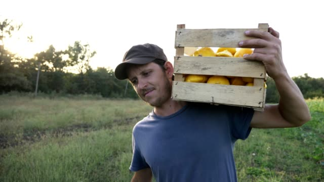 Young farmer going on the field with wooden box of organic bush pumpkin. video