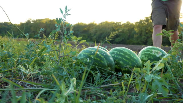 Young farmer harvesting watermelon crop at field of organic farm. Stedicam shot of young farmer harvesting watermelon crop at field of organic farm. men carrying two watermelons to the heap on the field watermelon stock videos & royalty-free footage