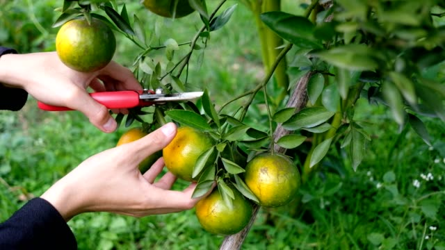 Young farmer holding sweet orange trees in hands. Young farmer holding sweet orange trees in hands. branch plant part stock videos & royalty-free footage