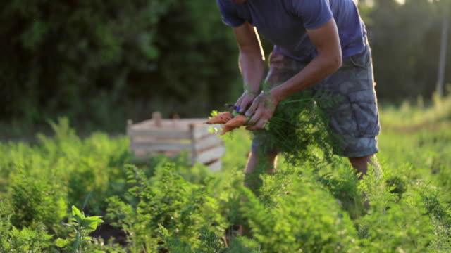 Junglandwirt in Hut Kommissionierung Karotten auf Gebiet der Bio-Bauernhof – Video