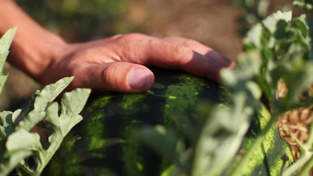 Young farmer inspecting watermelon crop for readiness for harvesting. Young farmer inspecting watermelon crop at field for readiness for harvesting. Man touching watermelon and showing something on it. Shooting with shaking camera, close-up. watermelon stock videos & royalty-free footage