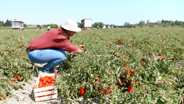 vídeos de stock e filmes b-roll de young farmer picking fresh tomatoes- harvesting tomatoes- south of italy - agricultora