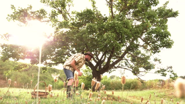 vídeos de stock e filmes b-roll de young farmer picking up sweet ripe apricots from the ground under the tree and putting them into the basket. wearing large hat, squared shirt and boots. - damasco fruta