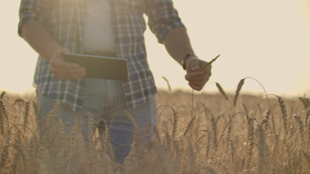 A young farmer with a tablet in a hat in a field of rye touches the grain and looks at the sprouts and presses his fingers on the computer screen.