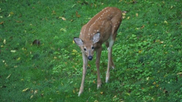 young fawn deer feeds in the field - summer background filmów i materiałów b-roll