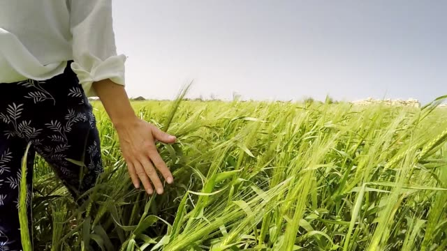 Young female passing by the green wheat field and enjoy the plants touches with her palm hand