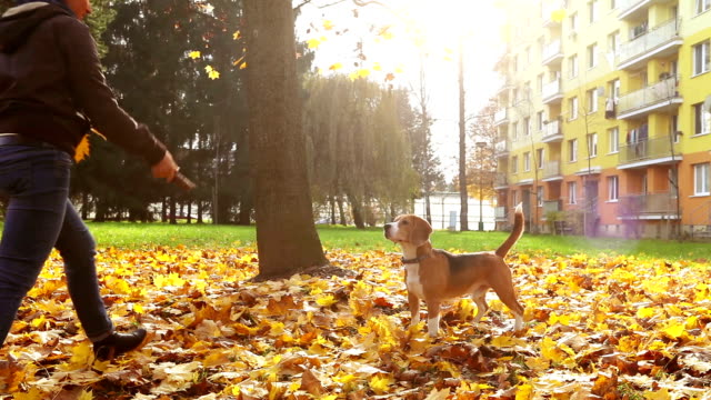 Young female playing with beagle puppy dog in autumnal park video