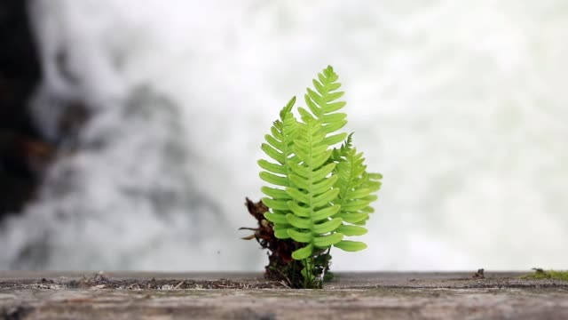 young fern over a wild mountain river (focus pull)