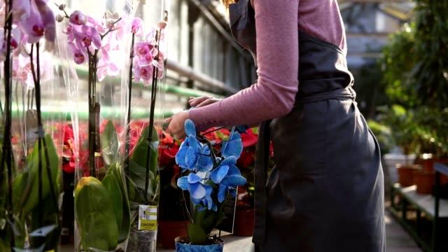 junge floristin frau in schürze zu fuß in das gewächshaus von blumen prüft einen topf mit blauer orchideen blütenblätter auf dem regal - orchidee stock-videos und b-roll-filmmaterial