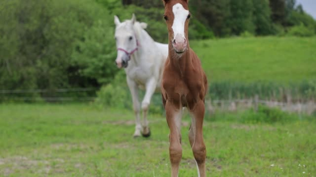 Young foal on the pasture