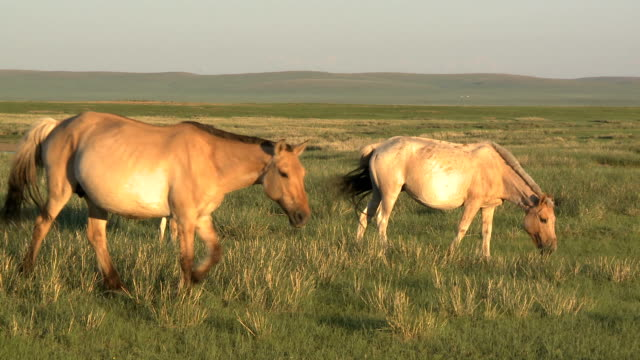 Young Foal With Herd On Mongolian Steppe At Sunset video