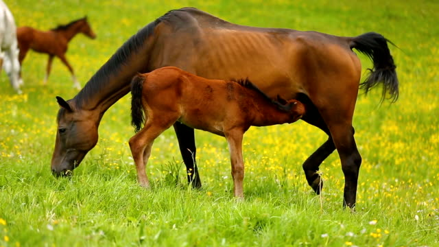 young foals with its mothers on green meadow in spring - cavallo purosangue video stock e b–roll