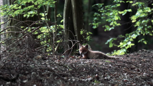 Young foxes playing in the woods