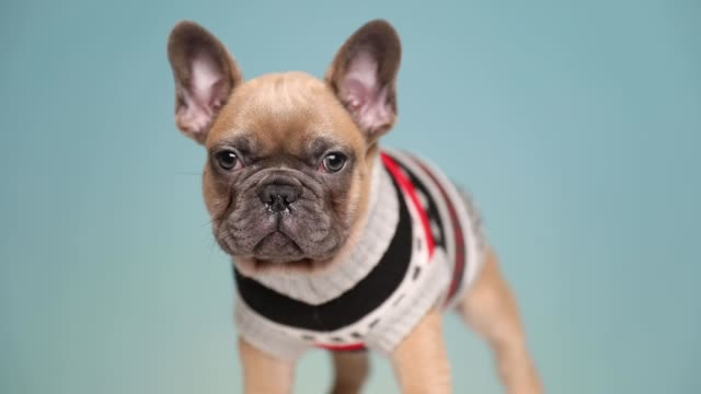 young French Bulldog wearing clothing standing and shaking with fear
