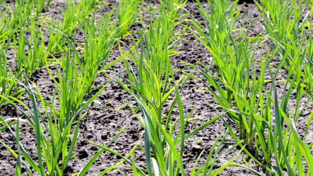 Young garlic plants in the field - video