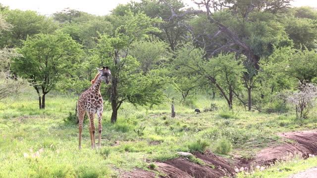 Young Giraffe Grazing video