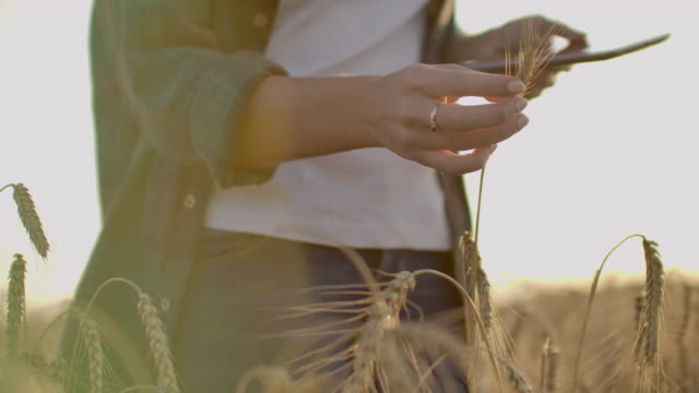 Young girl farmer in plaid shirt in wheat field on sunset background. The girl uses a tablet, plans to harvest