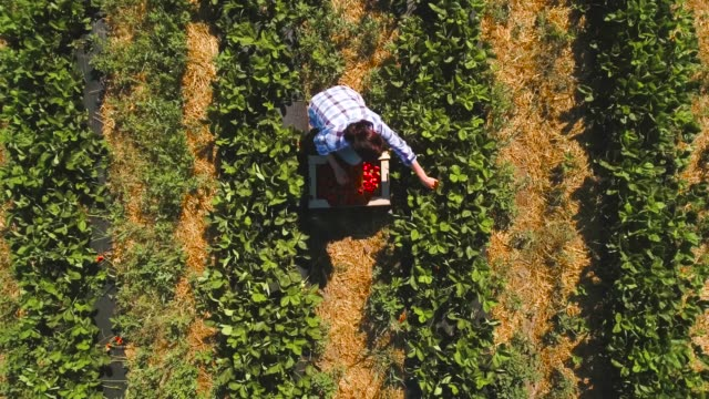 vídeos de stock e filmes b-roll de young girl picking strawberry, drone circling above the girl - strawberry