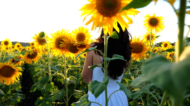 Young girl strolling through field with sunflowers at sunset. Follow to carefree woman walking and enjoying beautiful nature environment. Bright sunset sunbeams shining through high stalks of plants.