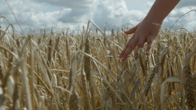 a young girls hand doing through a cereal crop in slow motion. - sustainability video stock e b–roll