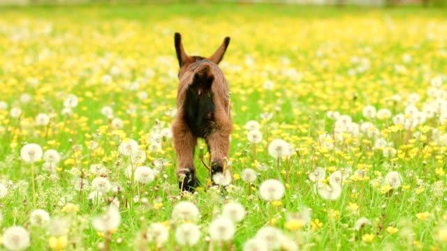 vídeos de stock, filmes e b-roll de jovens cabras no pasto - animais da fazenda