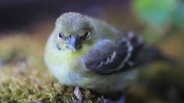 Young goldfinch after window collision video