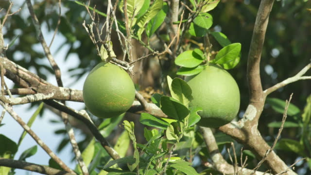 young Grapefruit on the tree video