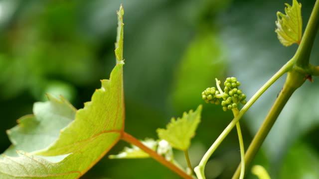 vídeos de stock e filmes b-roll de jovem formação de uvas - uva shiraz