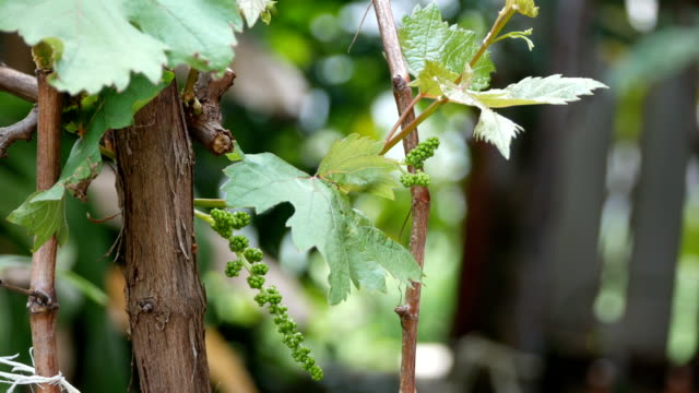 Young Grapes Forming video
