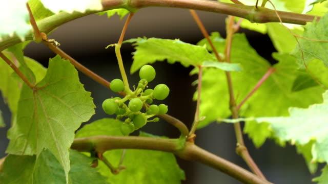 vídeos de stock e filmes b-roll de young grapes forming - uva shiraz
